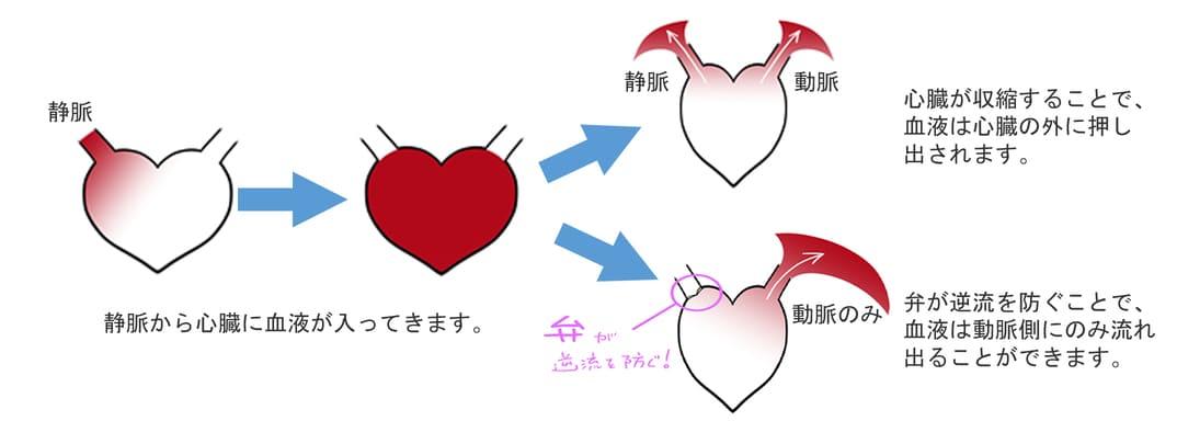 犬の心臓の模式図