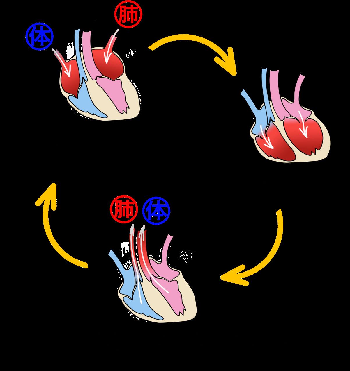 犬の心臓の流れ